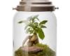 Lanterne Ginseng- Naturalys l'olaketal
